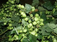 hop vines ornamental use
