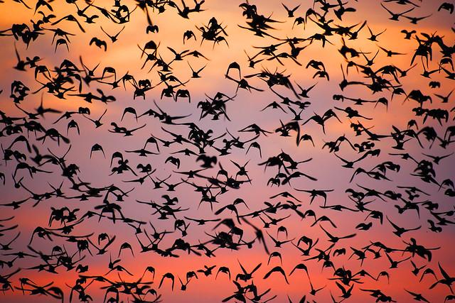 Starling Murmuration - BEST VIEWED LARGE