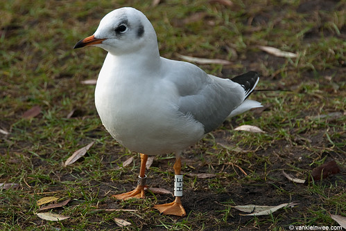 Black-headed Gull, >1cy, W[H-E]