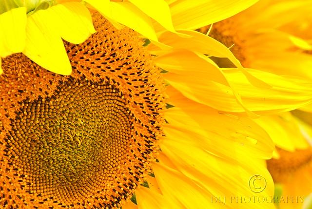 Sunflower Fields (3/4)