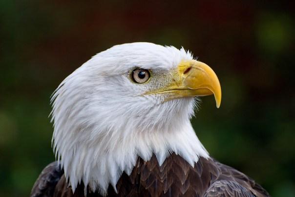Recovering eagle, Audubon Birds of Prey center, Maitland, Fl
