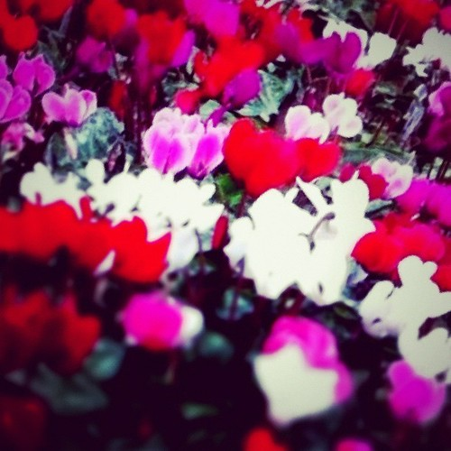 #instagramer #iphoneography #flower