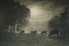 Die Viehweide, 1906, by Léonard Misonne