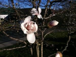 Magnolia? Or dogwood?