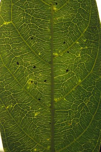Antirhea tenuiflora