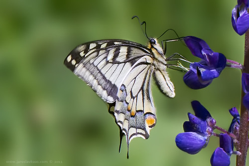 Papilio machaon, female / Old World Swallowtail / Otakárek fenyklový, samice