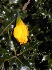 Dead Daff in a bush B(