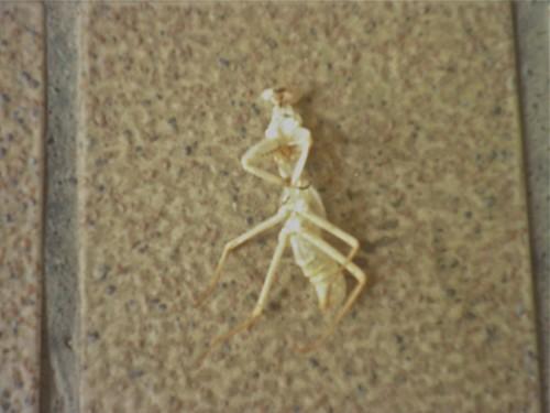 螳螂脫殼2