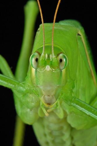 Katydid or Bush Cricket (Phaneropteridae)