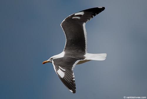 Lesser Black-backed Gull (L.f. graellsii), leucistic wing coverts