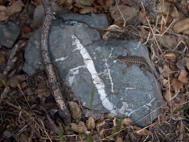 Lizard on Rock, Sunol Regional Wilderness, California