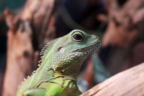 iguana, toronto ontario canada