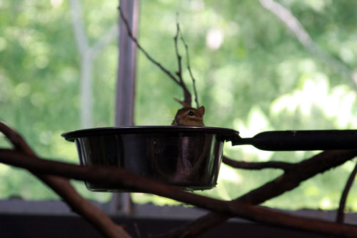 chipmunk in a dish, toronto zoo ... toronto, ontario, canada