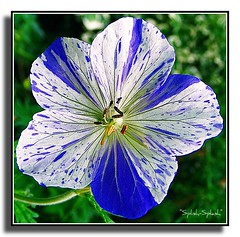 "Cranesbill,  ""Splish-Splash"""