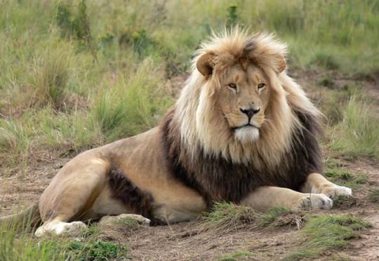 African Lion - Western Kruger, South Africa