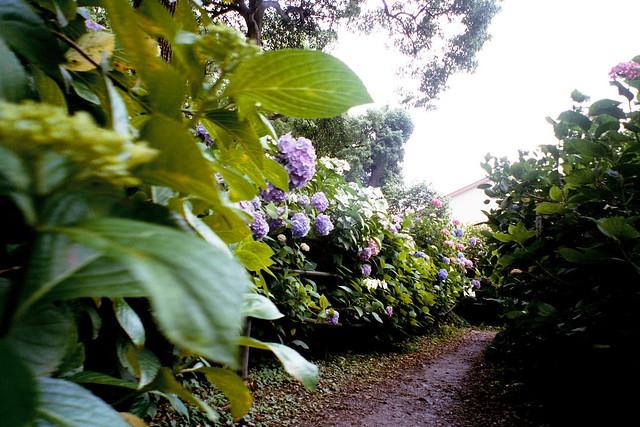 あじさい祭り紫陽花祭