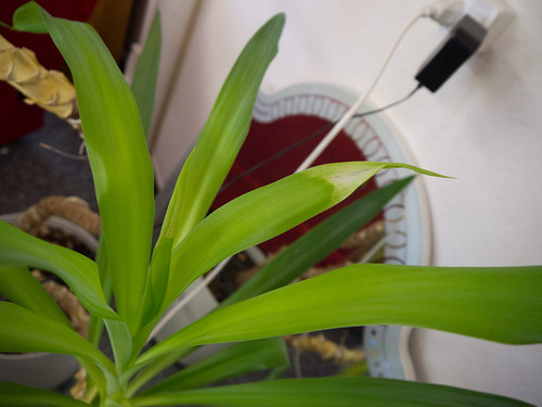 Unhappy Eclau Yucca 2.jpg