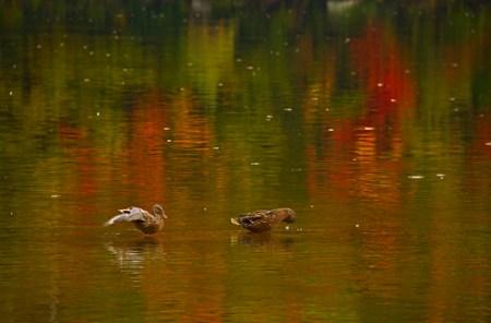 Ducks in a Fall Rain