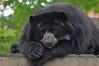 Brillenbär Amadore im Zoo de Maubeuge