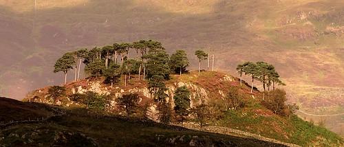 Scots Pine above Nantmor