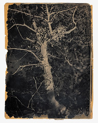 Ivy-covered tree at Colinton, 'The Fairy Tree' [Landscape 45], 1843-7, calotype negative, by Hill and Adamson