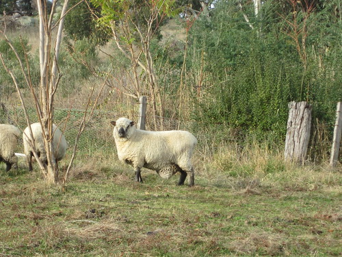 Ewe from a distance