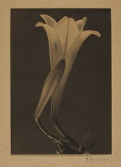 Easter Lilly and bud, 1925, by Tina Modotti