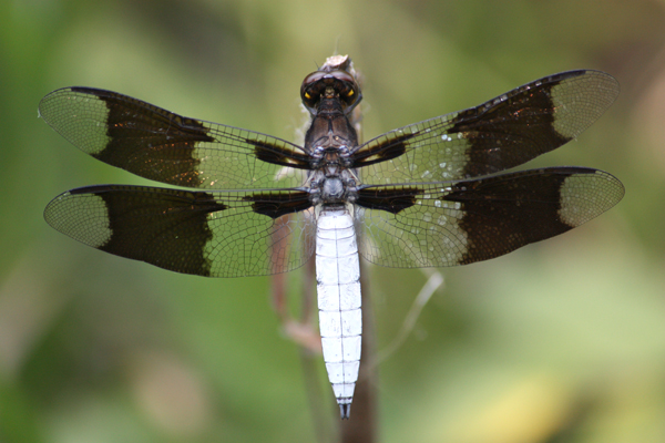 Common Whitetail (Plathemis lydia)