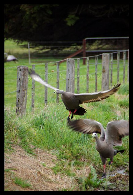 Cape Barron Geese in Flight #photography