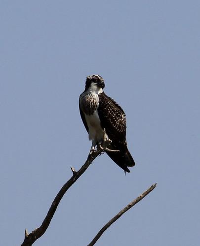 2011_09_17 TD - Osprey (Pandion haliaetus)  02
