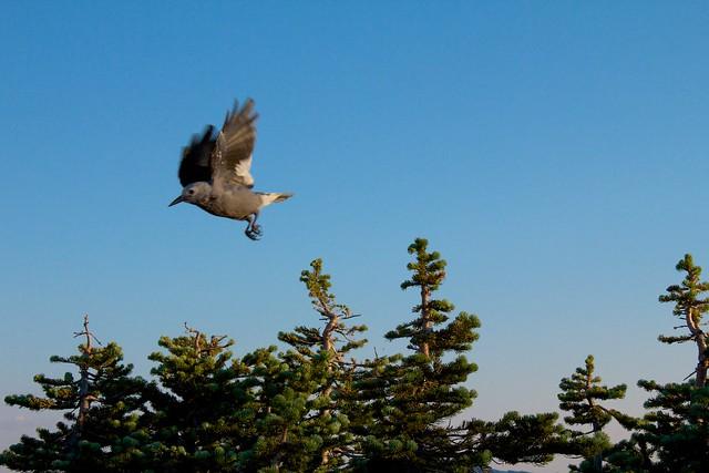 Bird Taking Flight at Mt. Rainier