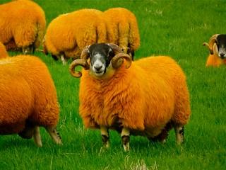 The Orange Sheep of Glen Quaich