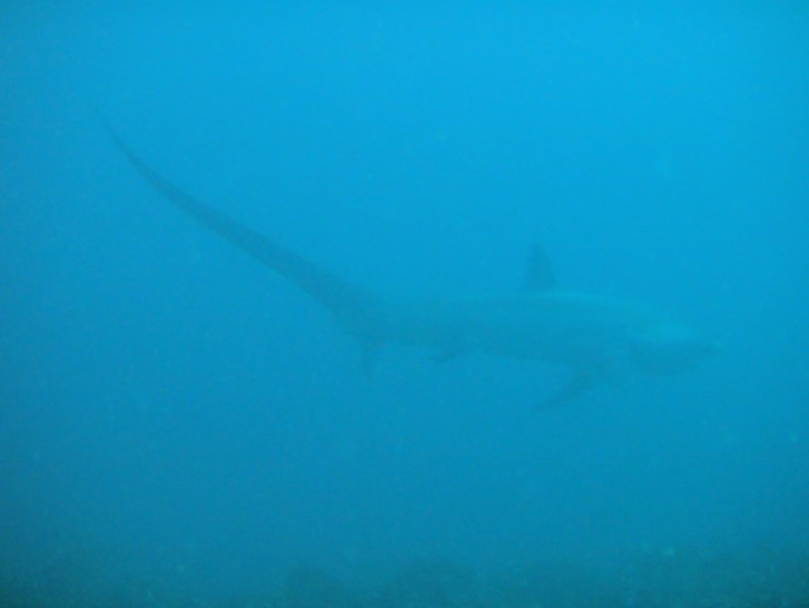 Thresher Shark at Shark Point, Malapascua