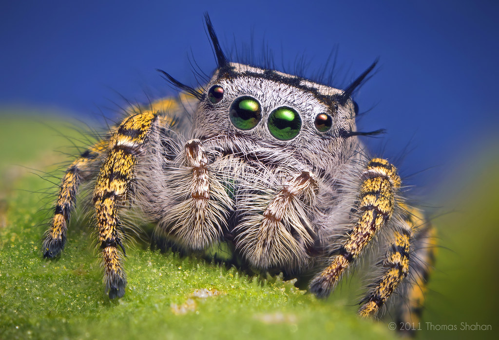 Adult Female Jumping Spider - Phidippus mystaceus