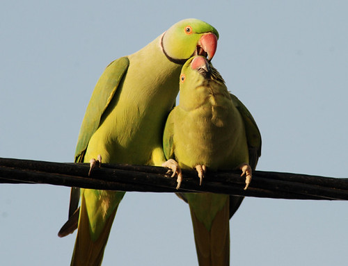 Courtship behavior in Indian Ring necked parakeets