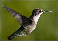 Female ruby-throated hummingbird in flight 10
