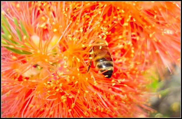Australian wildflowers