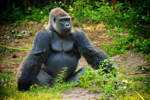 Gorilla in My Midst