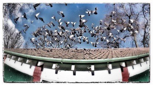 Scared Pigeons by BagRat