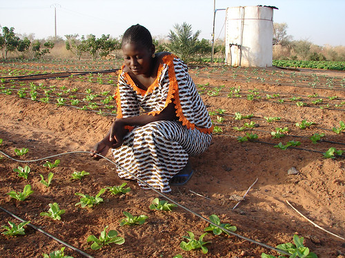 Reaping the benefits of drip irrigation