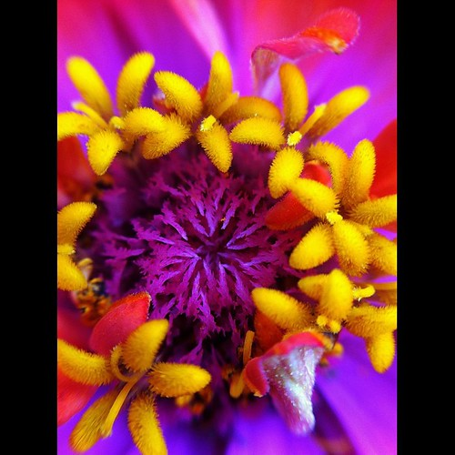 Another zinnia closeup