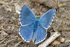 adonis blue (dirt) - Denbies Hillside 14-08-11