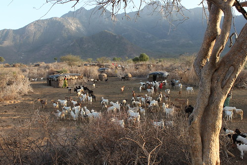 Goat herds returning home at sunset – Namunyak Conservancy, Northern Rangelands Trust