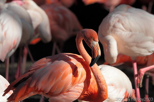 Flamingo (Phoenicopteriformes, Phoenicopteridae) by hellboy2503