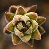 Haworthia reinwardtii por Chantal Wagner