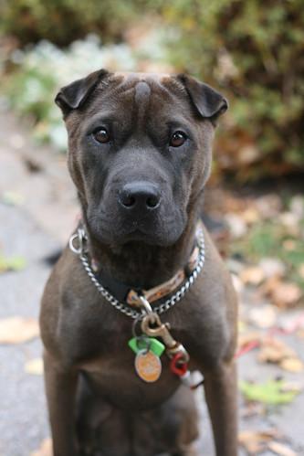 Leica the Dog