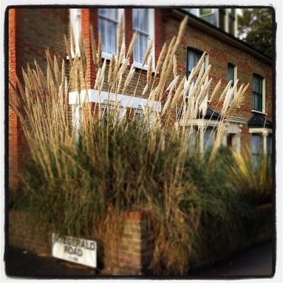 WANSTEAD PAMPAS #london #wanstead #pampas #grass #wifes