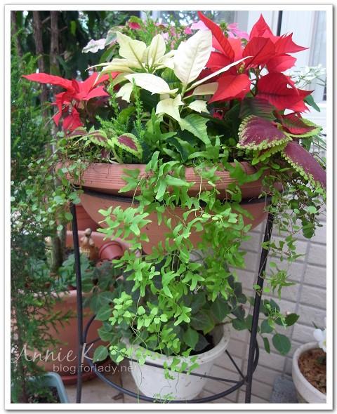 2011耶誕紅盆栽2