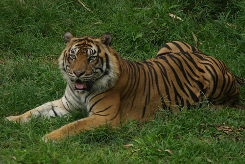 Harimau Sumatera #1 by © Mohammad Suryanto