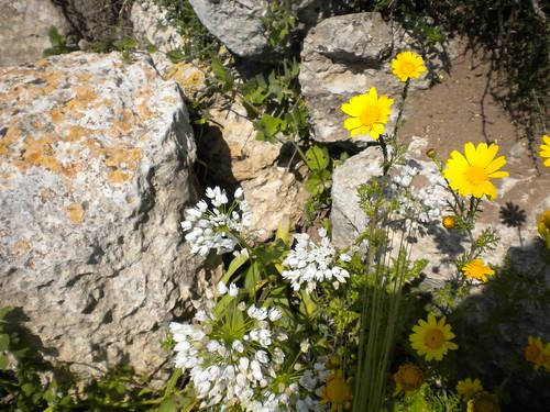 Wild Allium - Beit Shemesh Israel